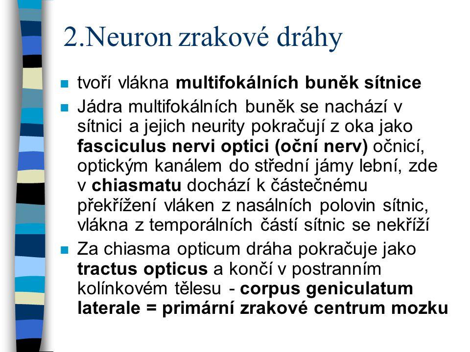 2.Neuron zrakové dráhy n tvoří vlákna multifokálních buněk sítnice n Jádra multifokálních buněk se nachází v sítnici a jejich neurity pokračují z oka