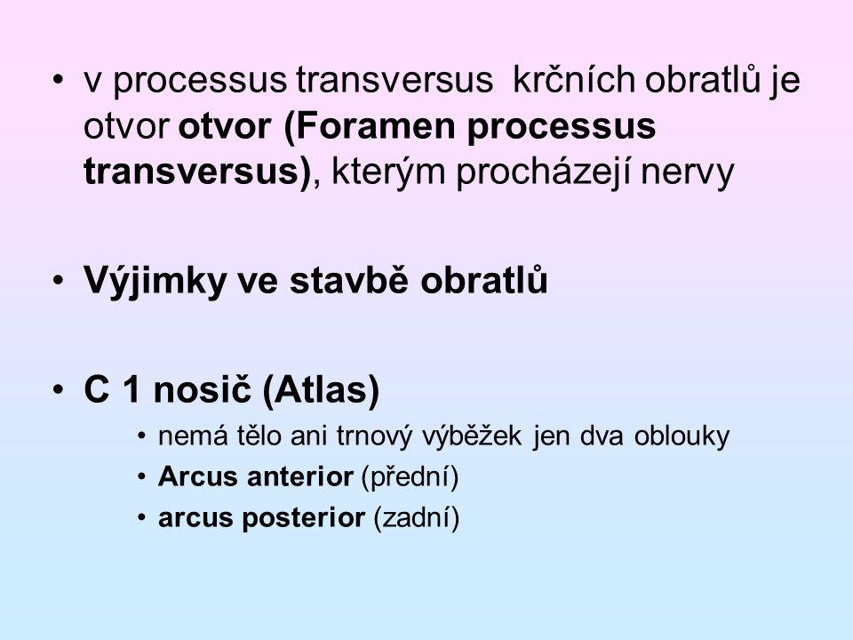 v processus transversus krčních obratlů je otvor otvor (Foramen processus transversus), kterým procházejí nervy Výjimky ve stavbě obratlů C 1 nosič (A