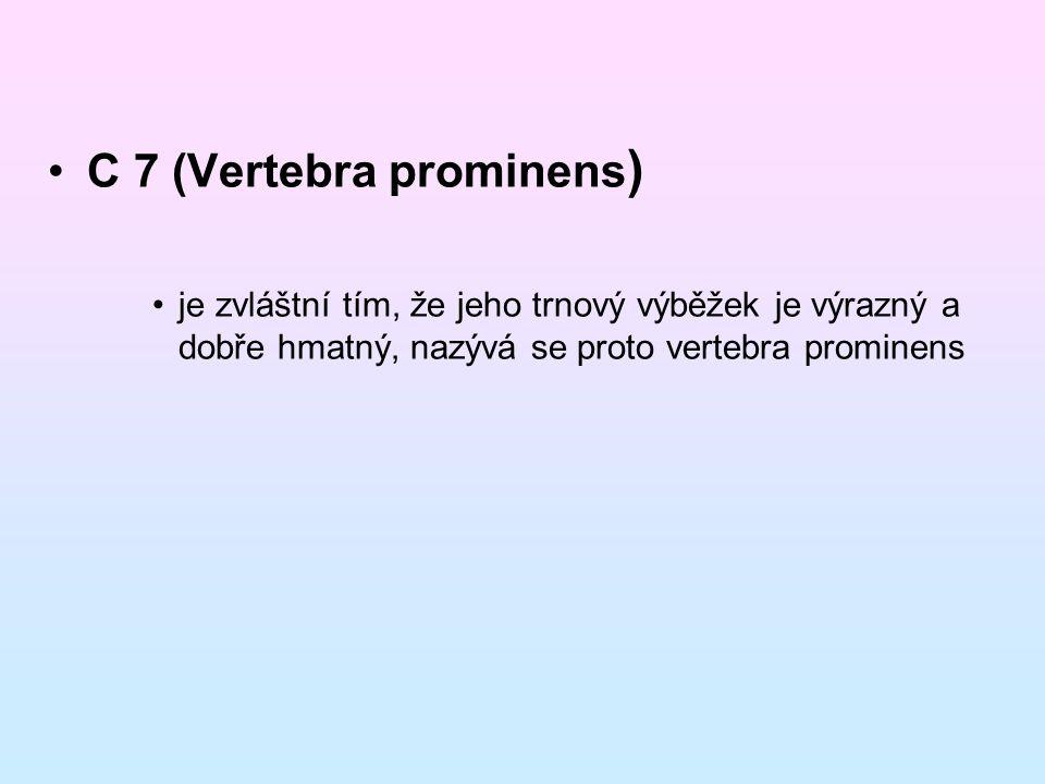 C 7 (Vertebra prominens ) je zvláštní tím, že jeho trnový výběžek je výrazný a dobře hmatný, nazývá se proto vertebra prominens