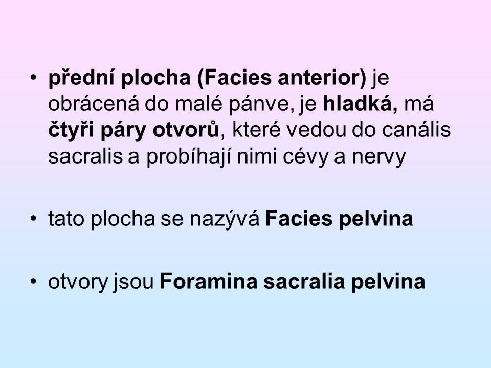 přední plocha (Facies anterior) je obrácená do malé pánve, je hladká, má čtyři páry otvorů, které vedou do canális sacralis a probíhají nimi cévy a ne