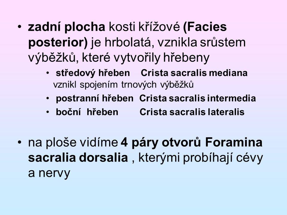 zadní plocha kosti křížové (Facies posterior) je hrbolatá, vznikla srůstem výběžků, které vytvořily hřebeny středový hřeben Crista sacralis mediana vz