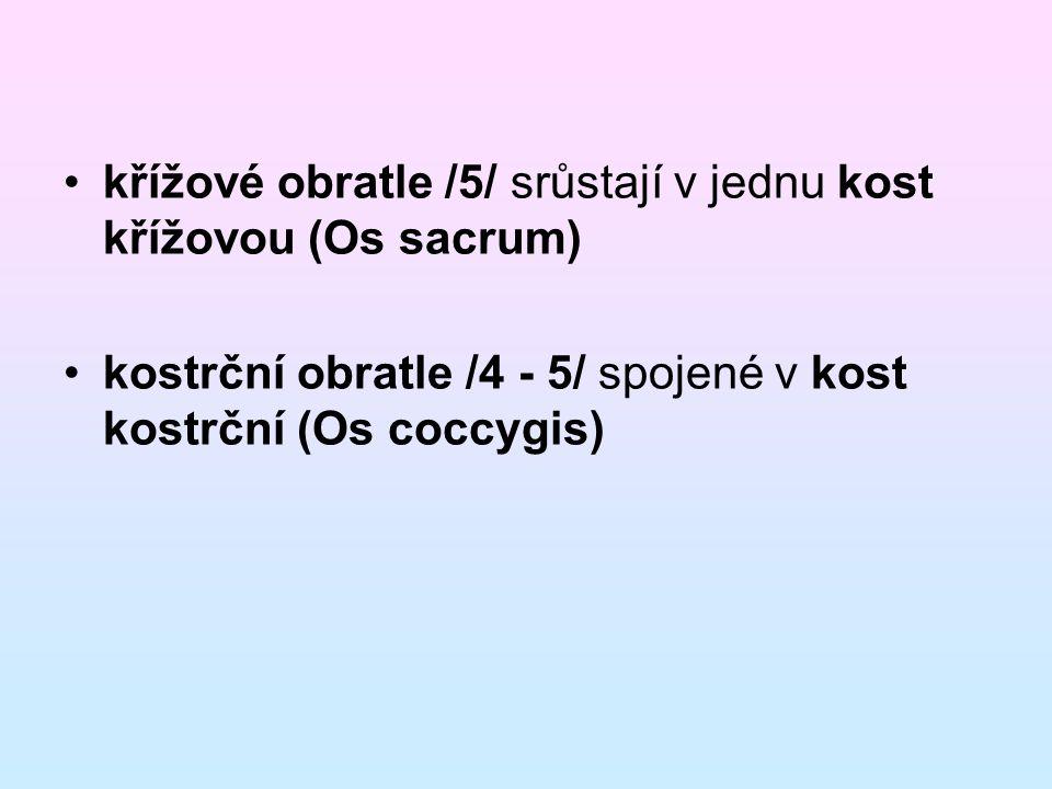 křížové obratle /5/ srůstají v jednu kost křížovou (Os sacrum) kostrční obratle /4 - 5/ spojené v kost kostrční (Os coccygis)
