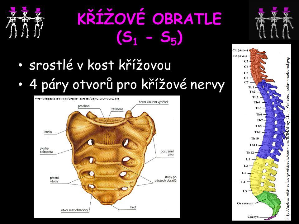 KŘÍŽOVÉ OBRATLE (S 1 - S 5 ) srostlé v kost křížovou 4 páry otvorů pro křížové nervy http://skolajecna.cz/biologie/Images/Textbook/Big/0010000/00012.p