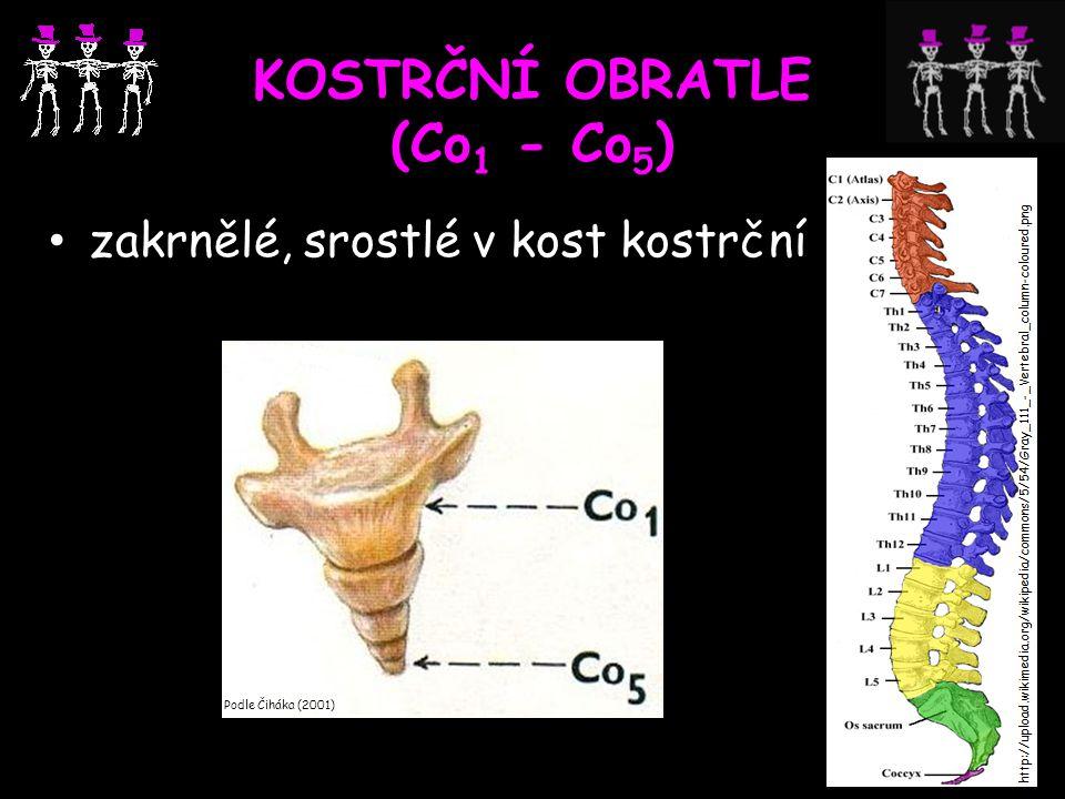 KOSTRČNÍ OBRATLE (Co 1 - Co 5 ) zakrnělé, srostlé v kost kostrční Podle Čiháka (2001)