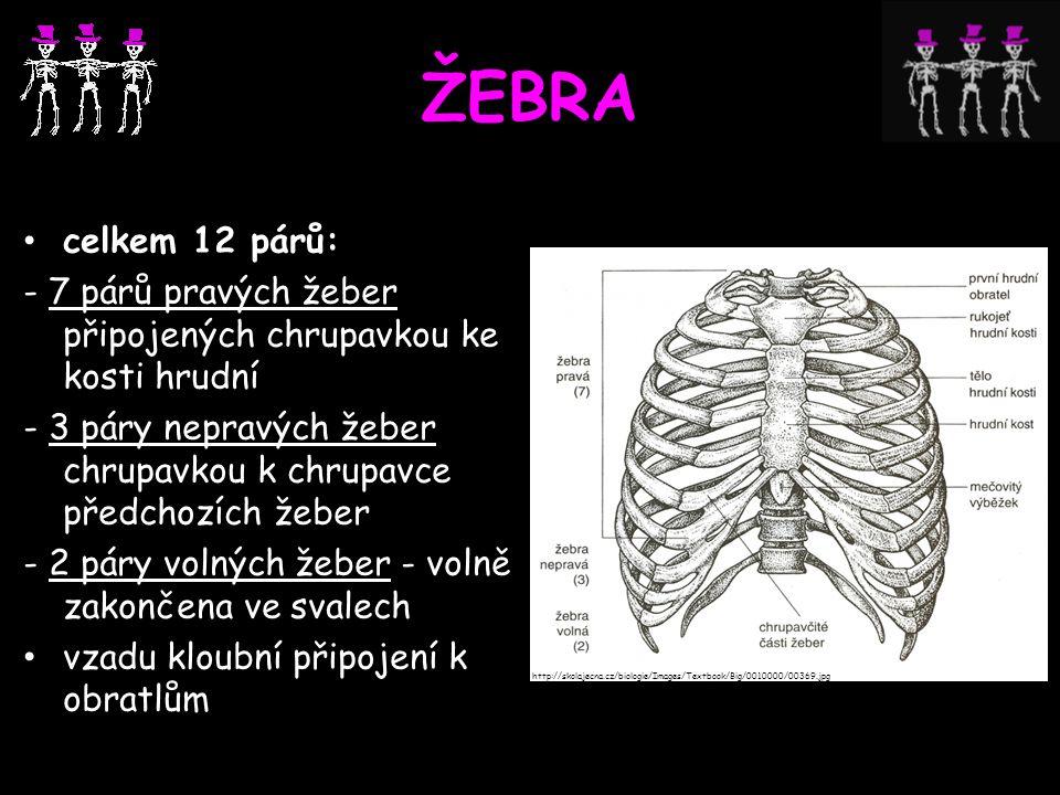 ŽEBRA celkem 12 párů: - 7 párů pravých žeber připojených chrupavkou ke kosti hrudní - 3 páry nepravých žeber chrupavkou k chrupavce předchozích žeber