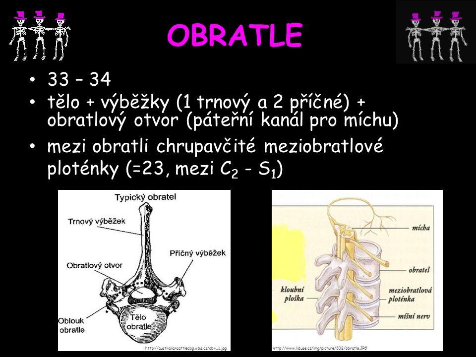 OBRATLE 33 – 34 tělo + výběžky (1 trnový a 2 příčné) + obratlový otvor (páteřní kanál pro míchu) mezi obratli chrupavčité meziobratlové ploténky (=23,