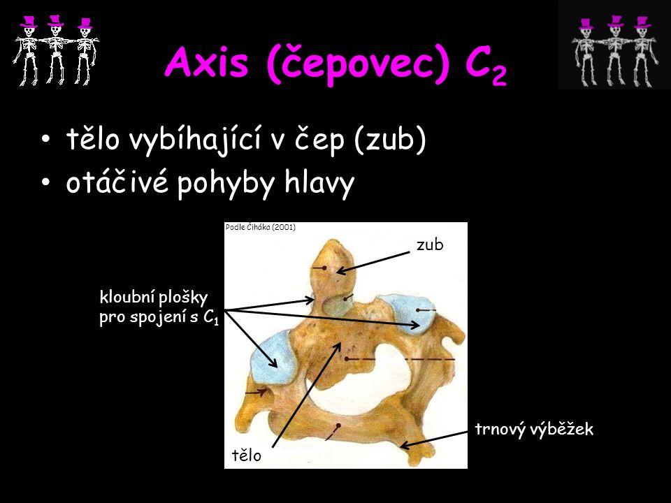 Axis (čepovec) C 2 tělo vybíhající v čep (zub) otáčivé pohyby hlavy trnový výběžek tělo zub kloubní plošky pro spojení s C 1 Podle Čiháka (2001)