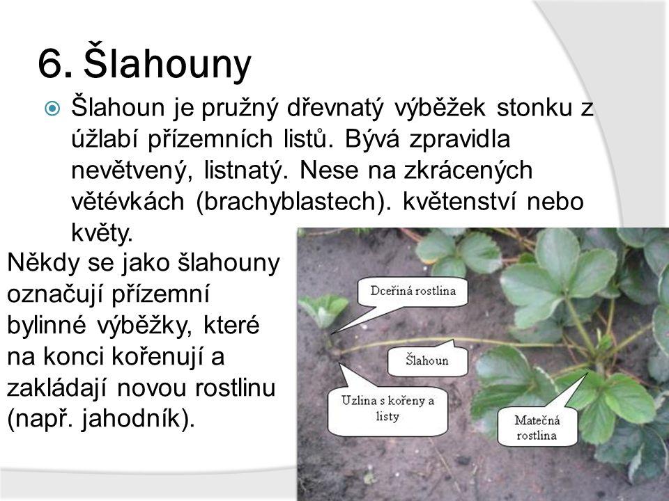 6. Šlahouny  Šlahoun je pružný dřevnatý výběžek stonku z úžlabí přízemních listů. Bývá zpravidla nevětvený, listnatý. Nese na zkrácených větévkách (b