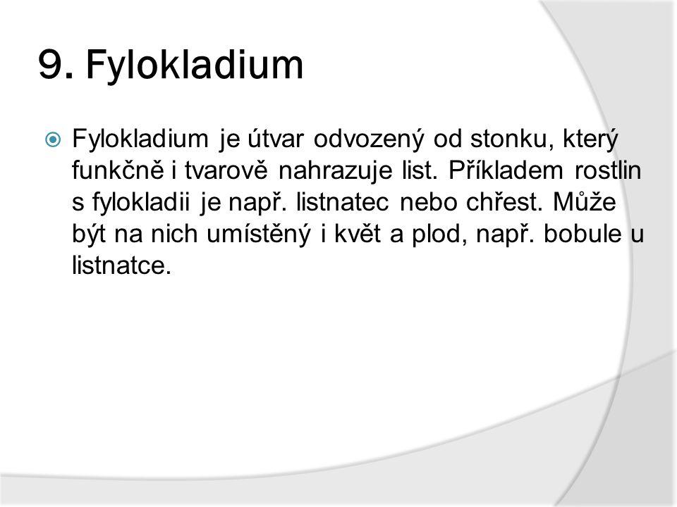 9. Fylokladium  Fylokladium je útvar odvozený od stonku, který funkčně i tvarově nahrazuje list. Příkladem rostlin s fylokladii je např. listnatec ne