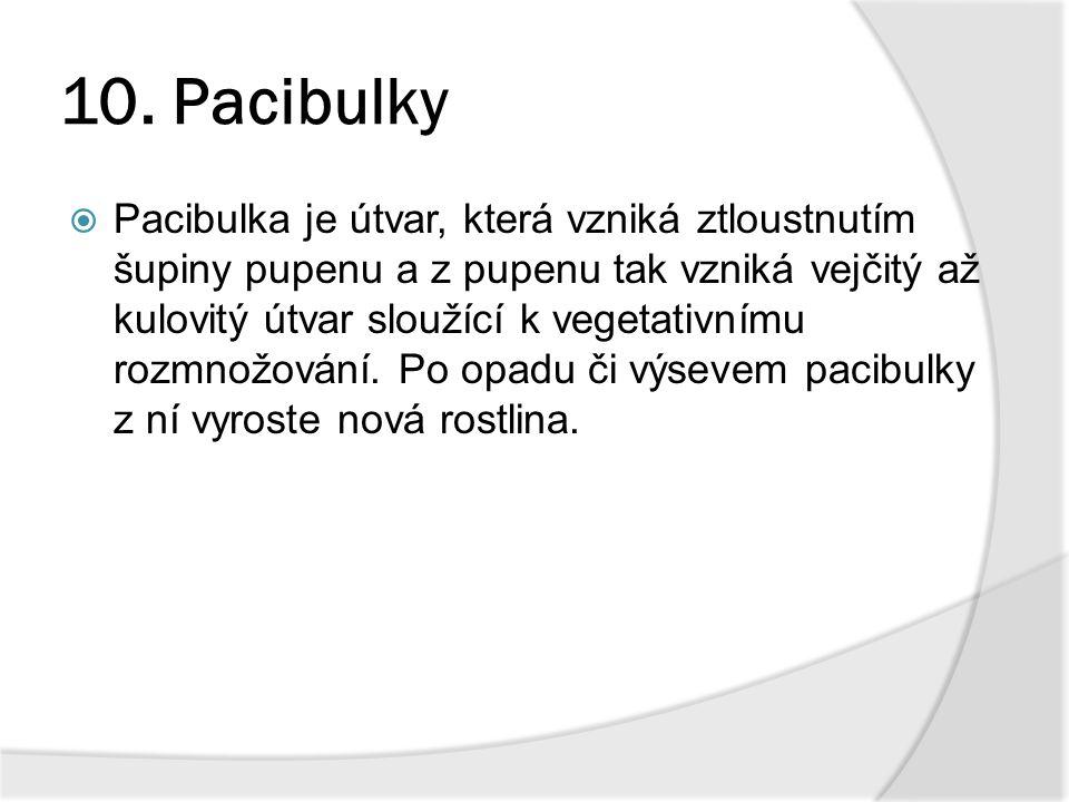 10. Pacibulky  Pacibulka je útvar, která vzniká ztloustnutím šupiny pupenu a z pupenu tak vzniká vejčitý až kulovitý útvar sloužící k vegetativnímu r