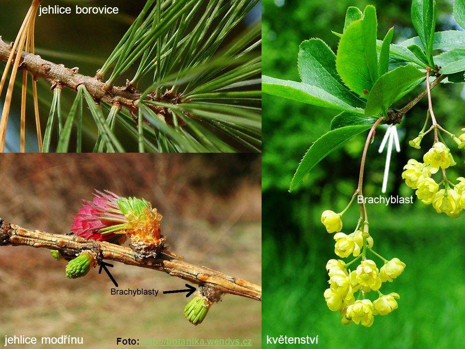 jehlice borovice jehlice modřínukvětenství Foto: http://botanika.wendys.czhttp://botanika.wendys.cz
