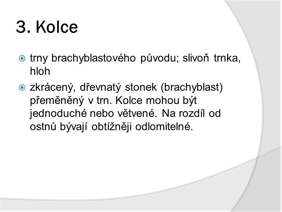 3. Kolce  trny brachyblastového původu; slivoň trnka, hloh  zkrácený, dřevnatý stonek (brachyblast) přeměněný v trn. Kolce mohou být jednoduché nebo
