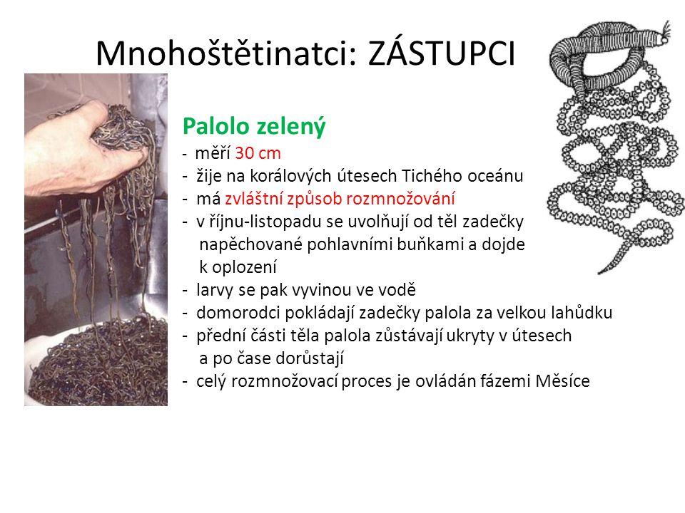 Mnohoštětinatci: ZÁSTUPCI Palolo zelený - měří 30 cm - žije na korálových útesech Tichého oceánu - má zvláštní způsob rozmnožování - v říjnu-listopadu se uvolňují od těl zadečky napěchované pohlavními buňkami a dojde k oplození - larvy se pak vyvinou ve vodě - domorodci pokládají zadečky palola za velkou lahůdku - přední části těla palola zůstávají ukryty v útesech a po čase dorůstají - celý rozmnožovací proces je ovládán fázemi Měsíce