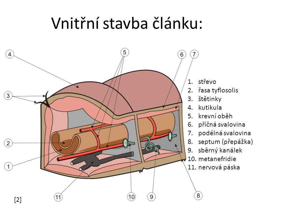 Vnitřní stavba článku: [2] 1.střevo 2.řasa tyflosolis 3.štětinky 4.kutikula 5.krevní oběh 6.příčná svalovina 7.podélná svalovina 8.septum (přepážka) 9.sběrný kanálek 10.metanefridie 11.nervová páska