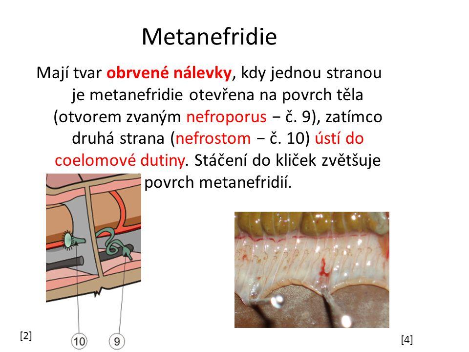 Metanefridie Mají tvar obrvené nálevky, kdy jednou stranou je metanefridie otevřena na povrch těla (otvorem zvaným nefroporus − č.