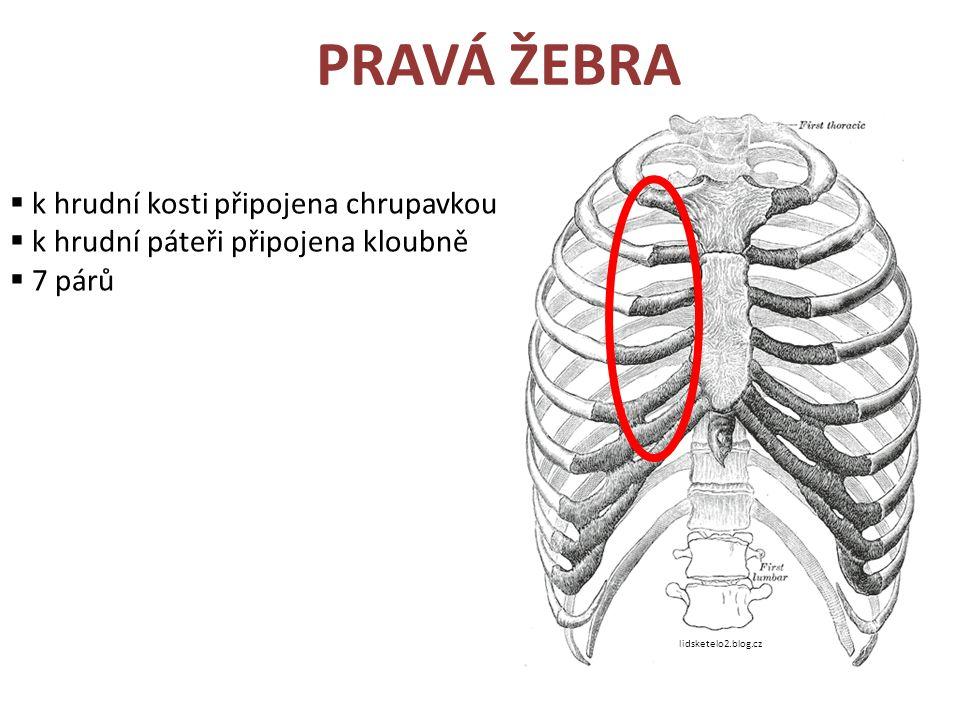 PRAVÁ ŽEBRA  k hrudní kosti připojena chrupavkou  k hrudní páteři připojena kloubně  7 párů lidsketelo2.blog.cz