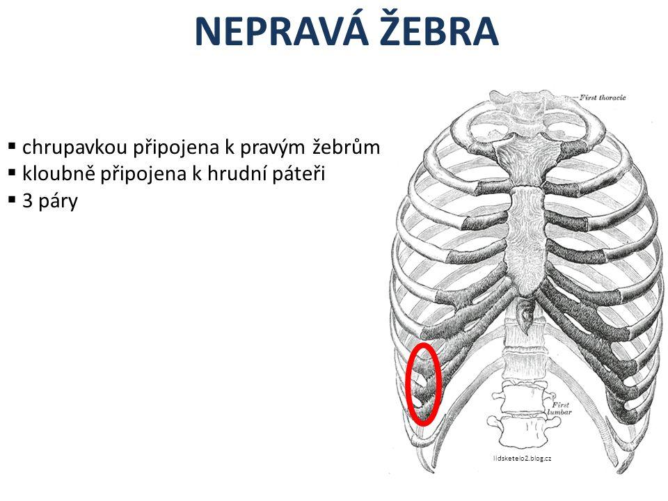NEPRAVÁ ŽEBRA  chrupavkou připojena k pravým žebrům  kloubně připojena k hrudní páteři  3 páry lidsketelo2.blog.cz