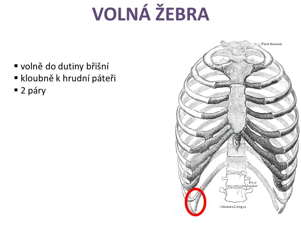 VOLNÁ ŽEBRA  volně do dutiny břišní  kloubně k hrudní páteři  2 páry lidsketelo2.blog.cz