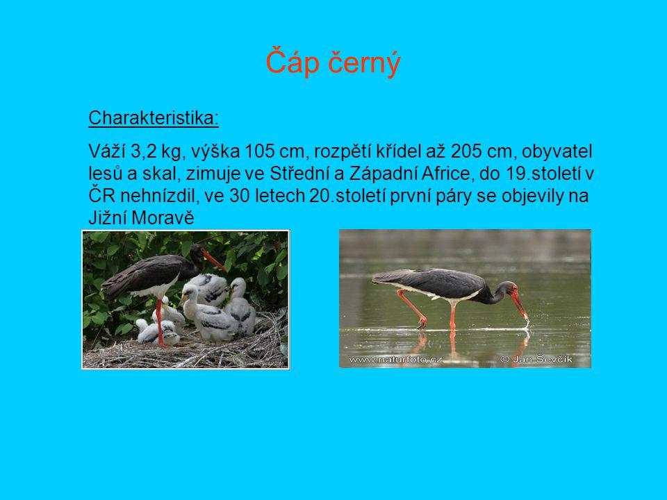 Čáp černý Charakteristika: Váží 3,2 kg, výška 105 cm, rozpětí křídel až 205 cm, obyvatel lesů a skal, zimuje ve Střední a Západní Africe, do 19.stolet