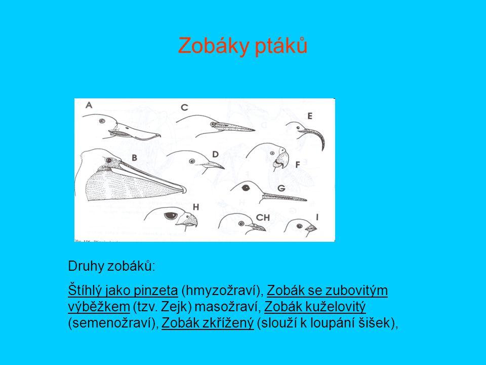 Zobáky ptáků Druhy zobáků: Štíhlý jako pinzeta (hmyzožraví), Zobák se zubovitým výběžkem (tzv. Zejk) masožraví, Zobák kuželovitý (semenožraví), Zobák