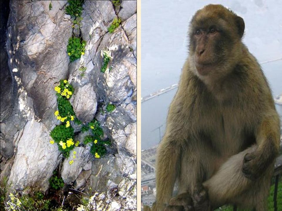 Opice chytře využivají svoji schopnost odvést pozornost dříve než se zmocní kořisti. Naučily se usmívat do kamer a napodobovat cvakání spouští; pro le