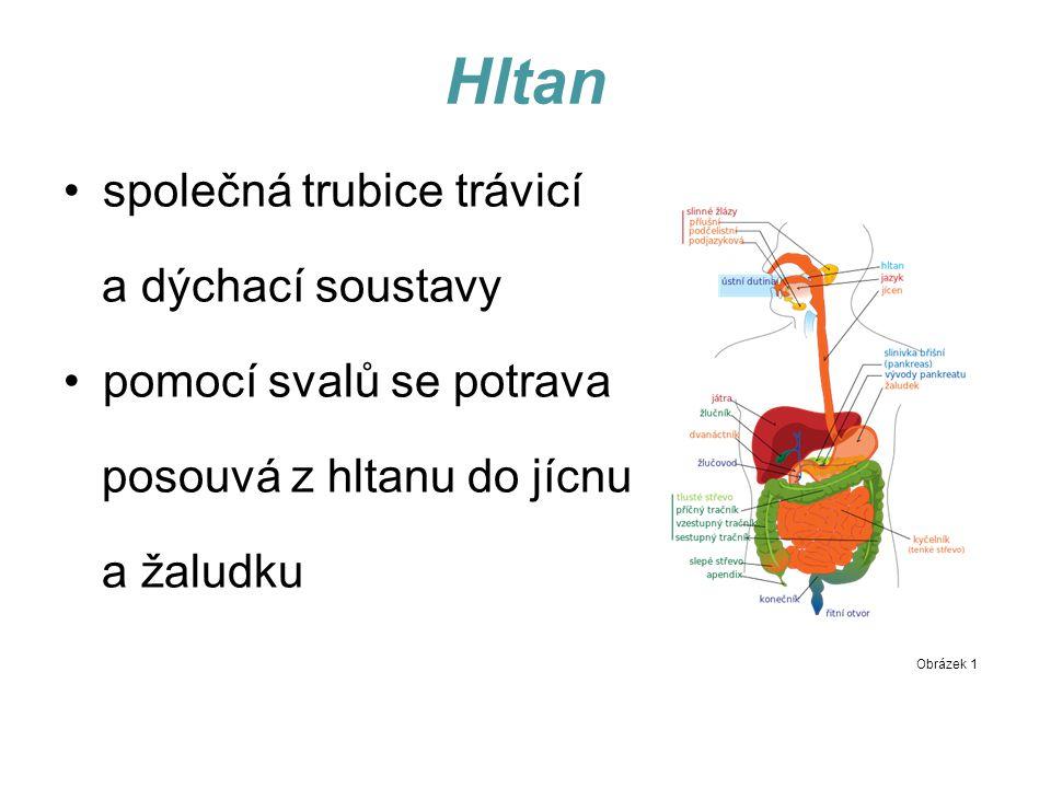 Hltan společná trubice trávicí a dýchací soustavy pomocí svalů se potrava posouvá z hltanu do jícnu a žaludku Obrázek 1