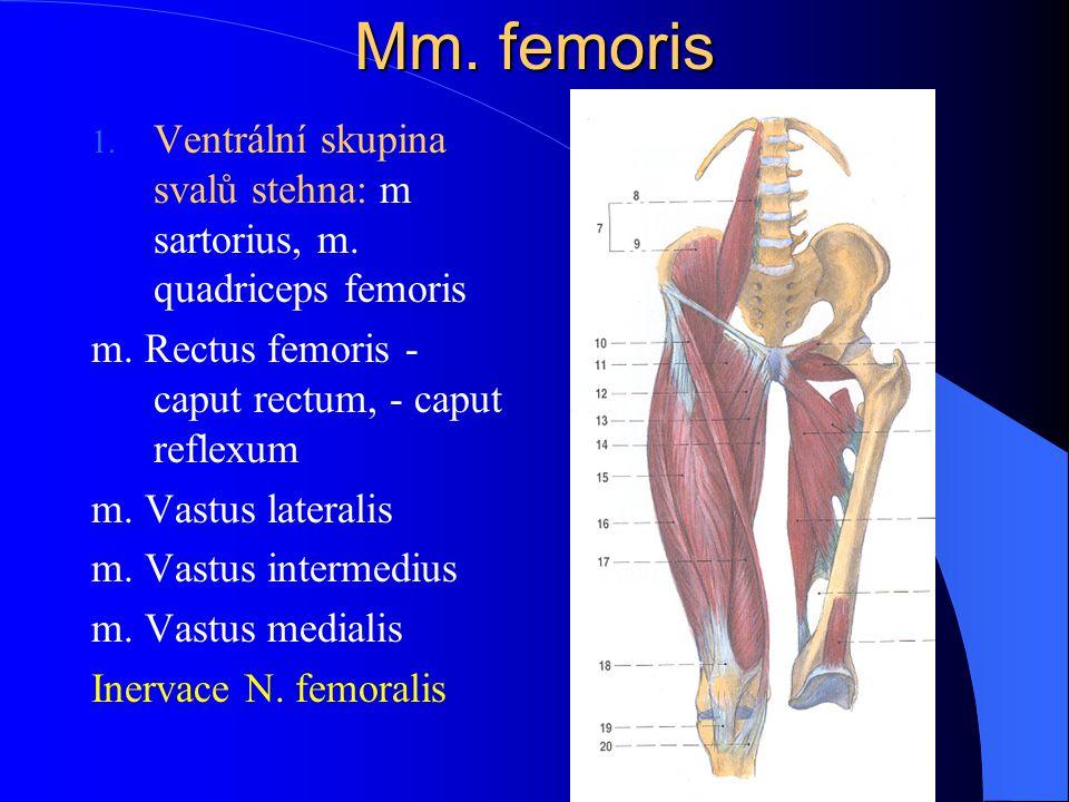 Mm. femoris 1. Ventrální skupina svalů stehna: m sartorius, m. quadriceps femoris m. Rectus femoris - caput rectum, - caput reflexum m. Vastus lateral
