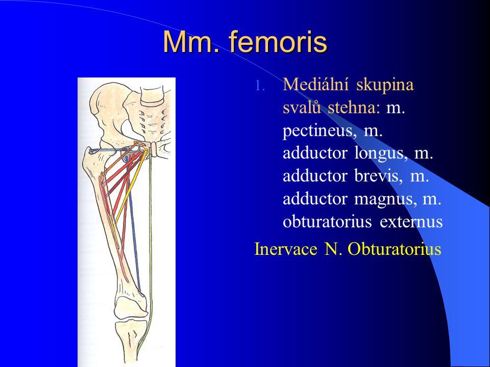 Mm. femoris 1. Mediální skupina svalů stehna: m. pectineus, m. adductor longus, m. adductor brevis, m. adductor magnus, m. obturatorius externus Inerv
