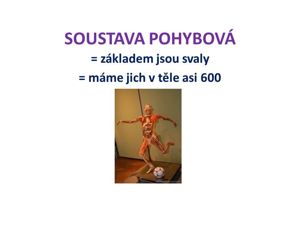 SOUSTAVA POHYBOVÁ = základem jsou svaly = máme jich v těle asi 600