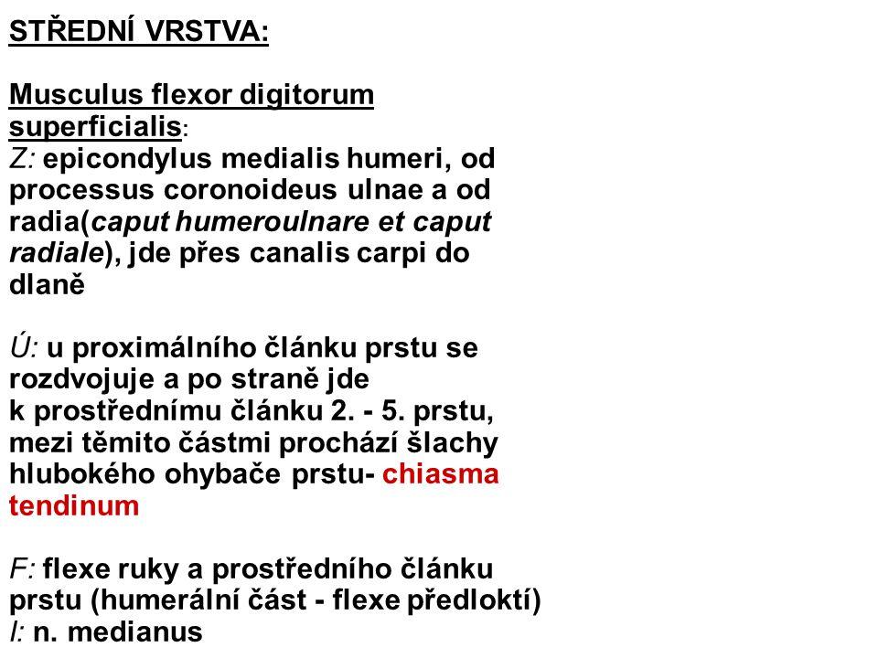 HLUBOKÁ VRSTVA: Musculus flexor digitorum profundus : Z: přední plocha ulny a membrana interossea Ú: distální články 2.