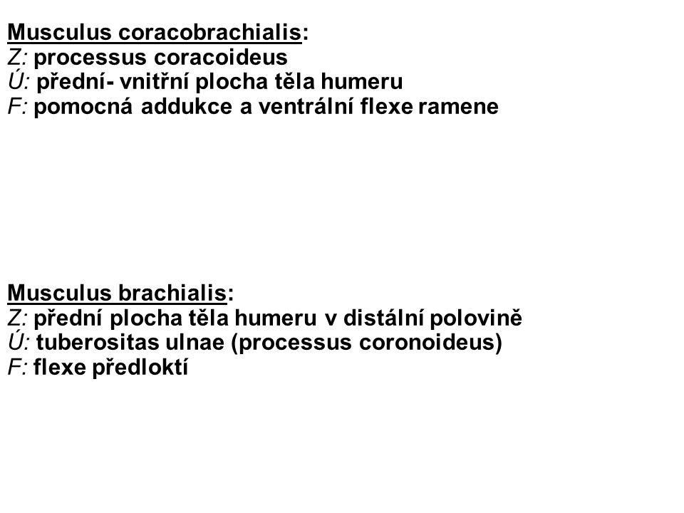 Musculus biceps brachii Z: caput longum na tuberculum supraglenoidale, caput breve na processus coracoideus Ú: tuberositas radii, aponeurossis m.