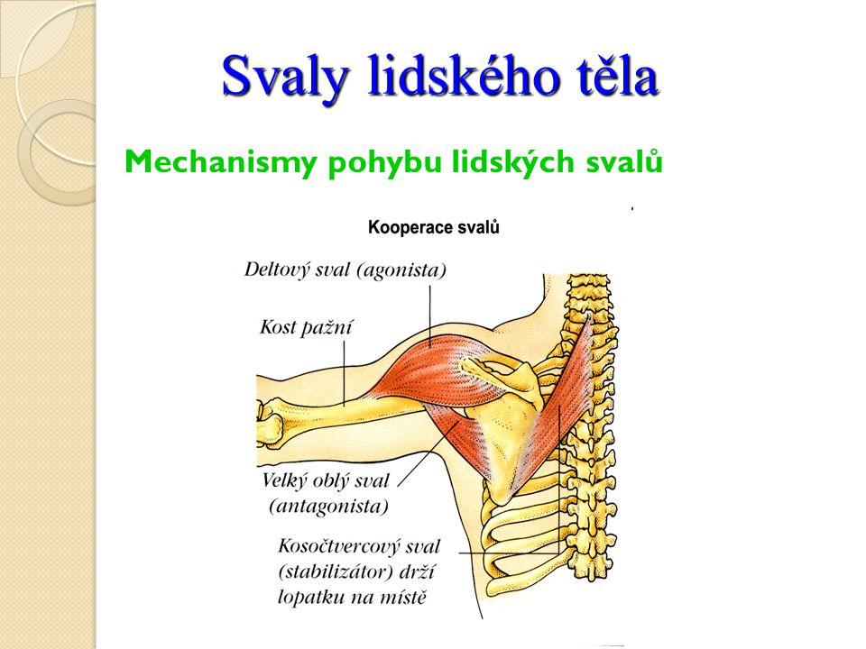 Svaly lidského těla Mechanismy pohybu lidských svalů