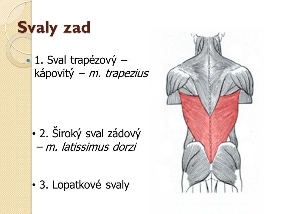Svaly zad 1. Sval trapézový – kápovitý – m. trapezius 2. Široký sval zádový – m. latissimus dorzi 3. Lopatkové svaly