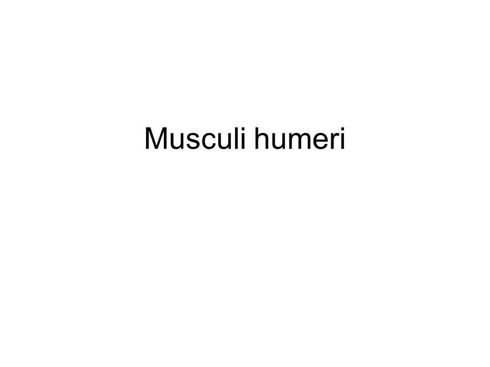 Musculus subscapularis ZAČÁTEK: facies costalis scapulae (fossa subscapularis) ÚPON: tuberculum minus humeri INERVACE: n.