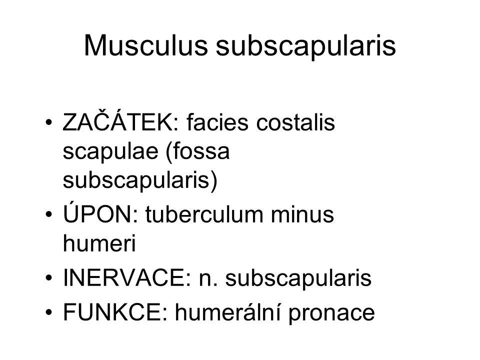 Musculus anconaeus ZAČÁTEK: epicondylus lateralis humeri ÚPON: olecranon ulnae INERVACE: n.