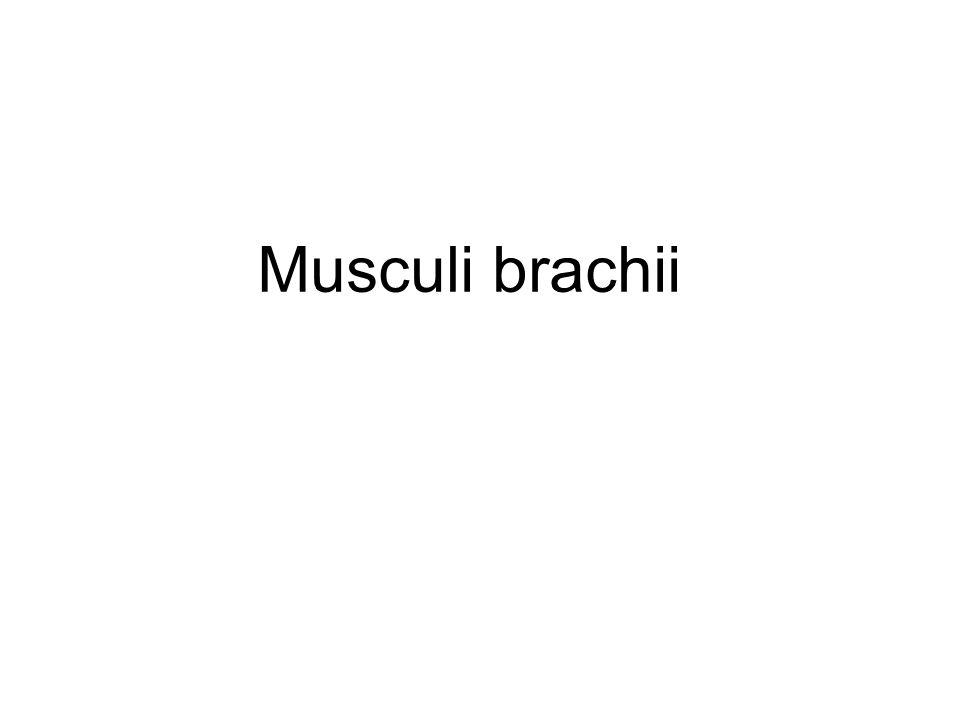 Musculus brachialis ZAČÁTEK: dist.polovina těla humeru ÚPON: tuberositas ulnae INERVACE: n.
