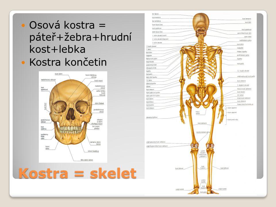 Kostra = skelet Osová kostra = páteř+žebra+hrudní kost+lebka Kostra končetin