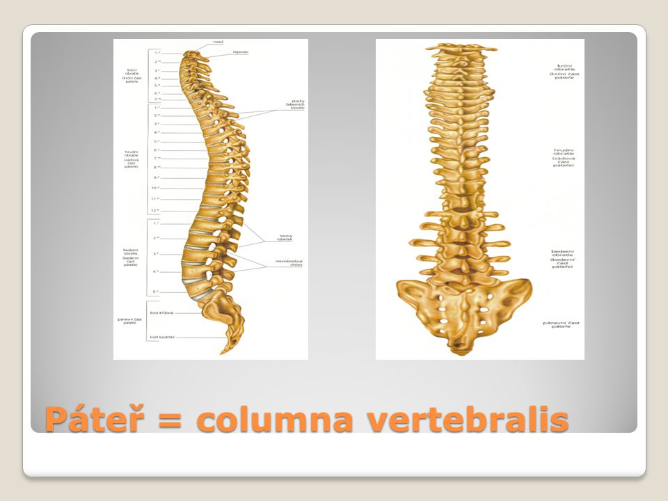 Páteř = columna vertebralis