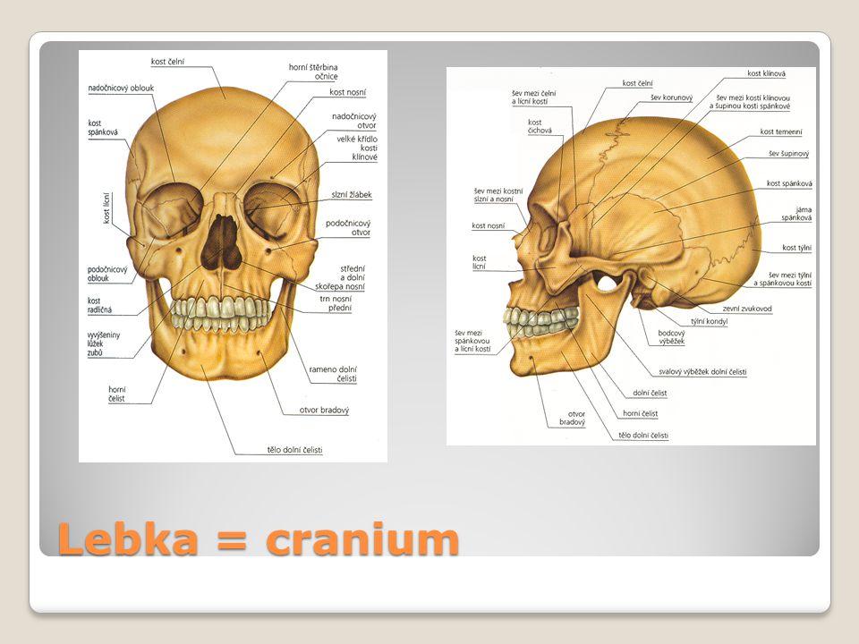 Lebka = cranium