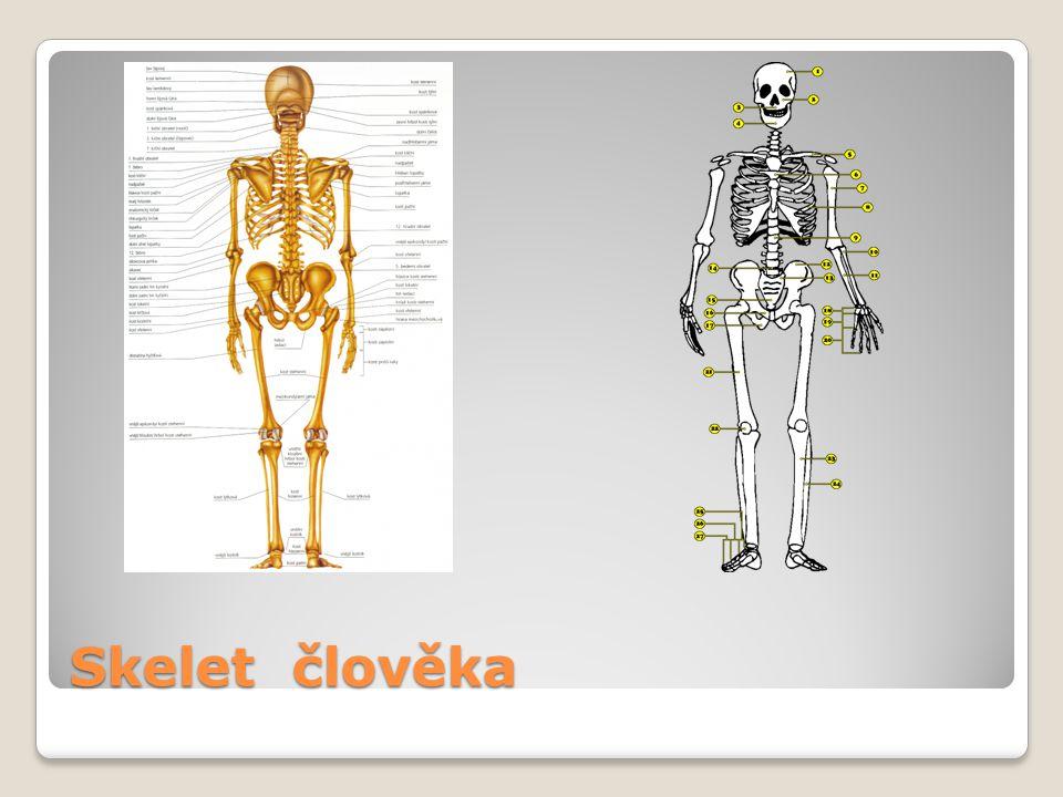 Skelet člověka