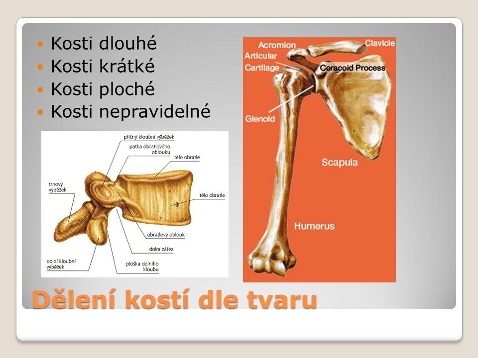 Dělení kostí dle tvaru Kosti dlouhé Kosti krátké Kosti ploché Kosti nepravidelné
