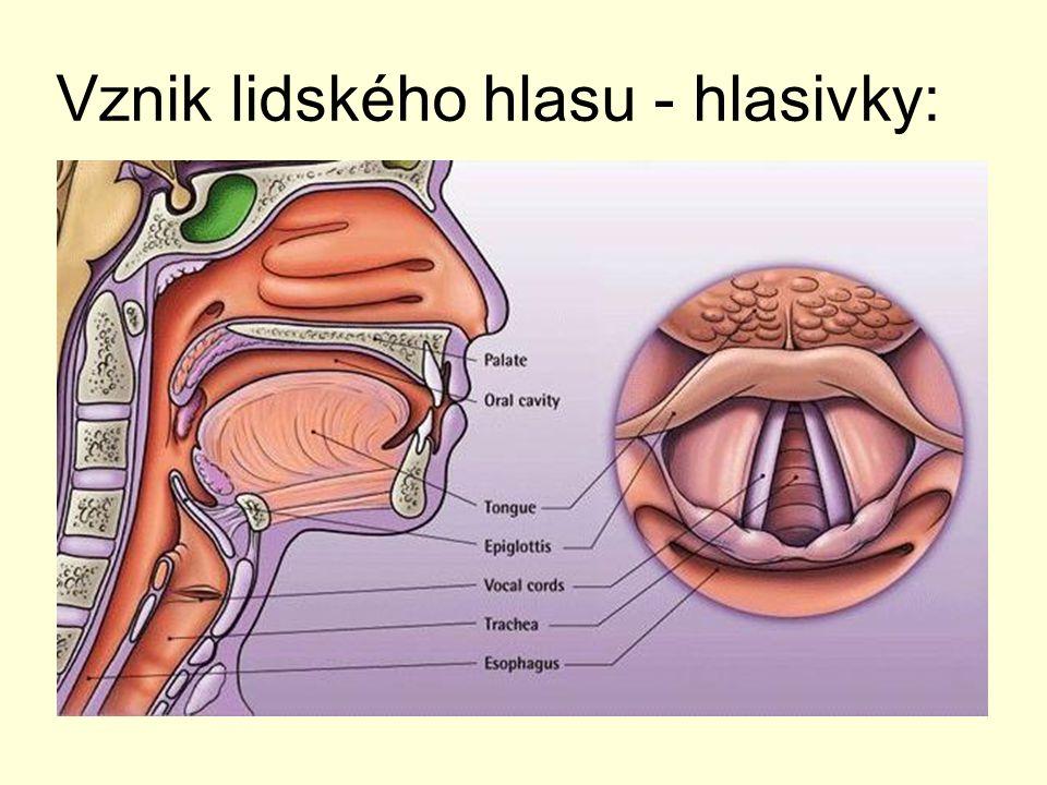Vznik lidského hlasu - hlasivky: