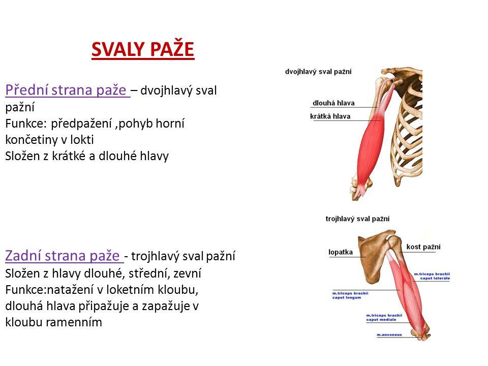 Přední strana paže – dvojhlavý sval pažní Funkce: předpažení,pohyb horní končetiny v lokti Složen z krátké a dlouhé hlavy Zadní strana paže - trojhlav