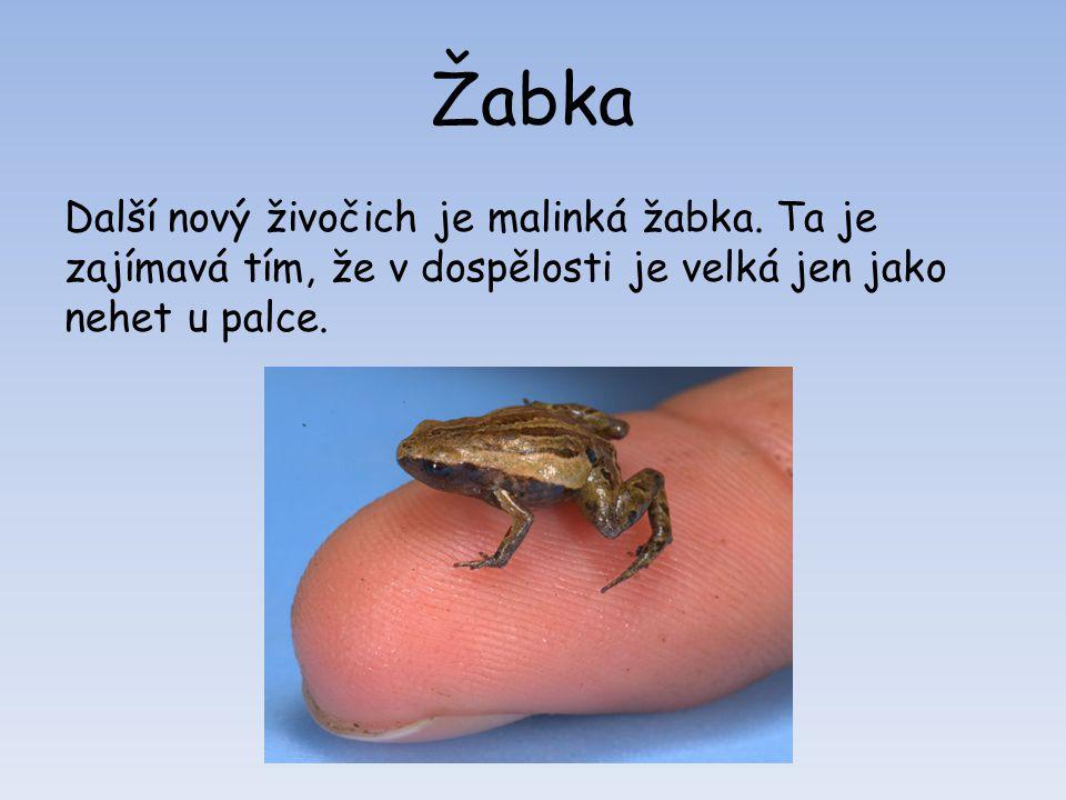 Žabka Další nový živočich je malinká žabka.