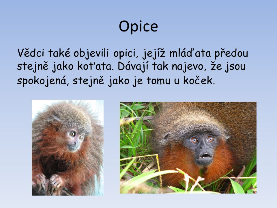 Opice Vědci také objevili opici, jejíž mláďata předou stejně jako koťata.