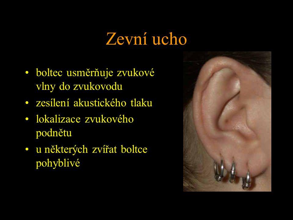 Zevní ucho boltec usměrňuje zvukové vlny do zvukovodu zesílení akustického tlaku lokalizace zvukového podnětu u některých zvířat boltce pohyblivé
