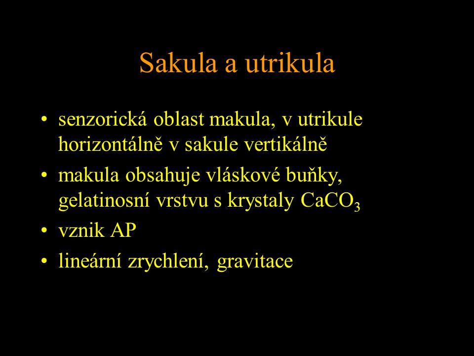 Sakula a utrikula senzorická oblast makula, v utrikule horizontálně v sakule vertikálně makula obsahuje vláskové buňky, gelatinosní vrstvu s krystaly CaCO 3 vznik AP lineární zrychlení, gravitace