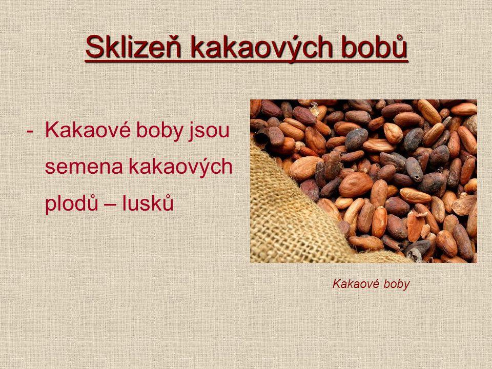 Sklizeň kakaových bobů -Kakaové boby jsou semena kakaových plodů – lusků Kakaové boby