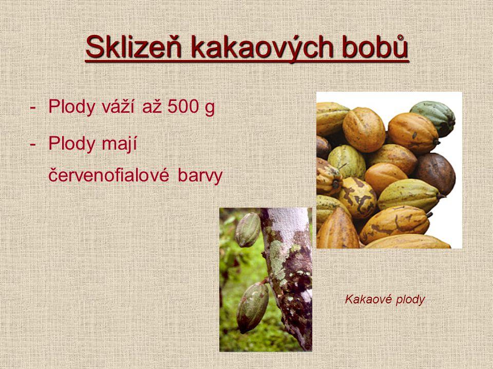 Sklizeň kakaových bobů -Plody váží až 500 g -Plody mají červenofialové barvy Kakaové plody