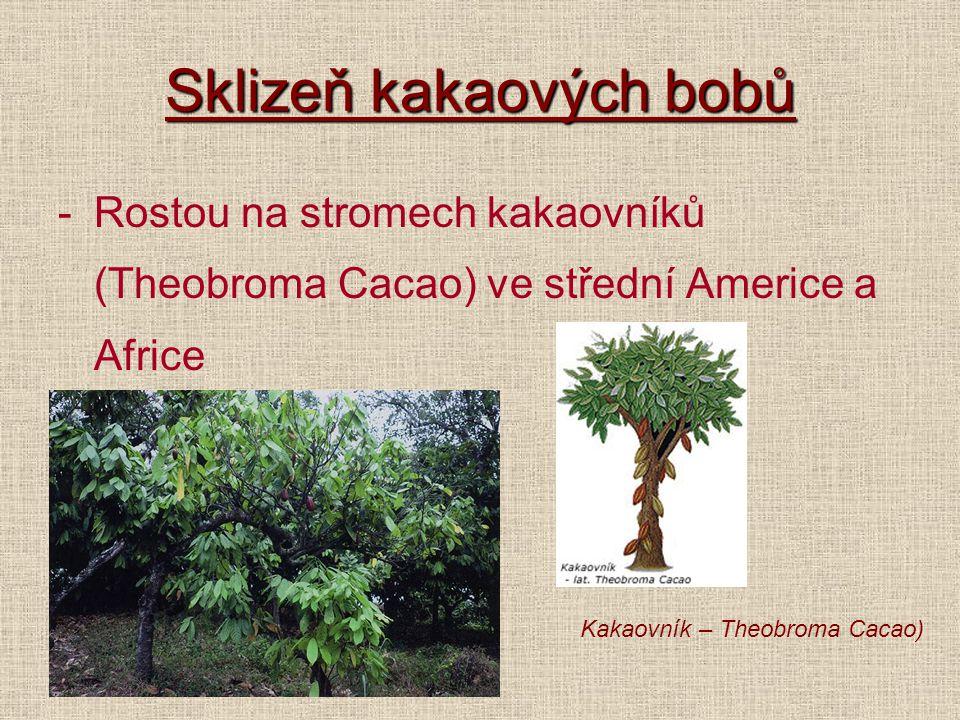 Sklizeň kakaových bobů -Rostou na stromech kakaovníků (Theobroma Cacao) ve střední Americe a Africe Kakaovník – Theobroma Cacao)